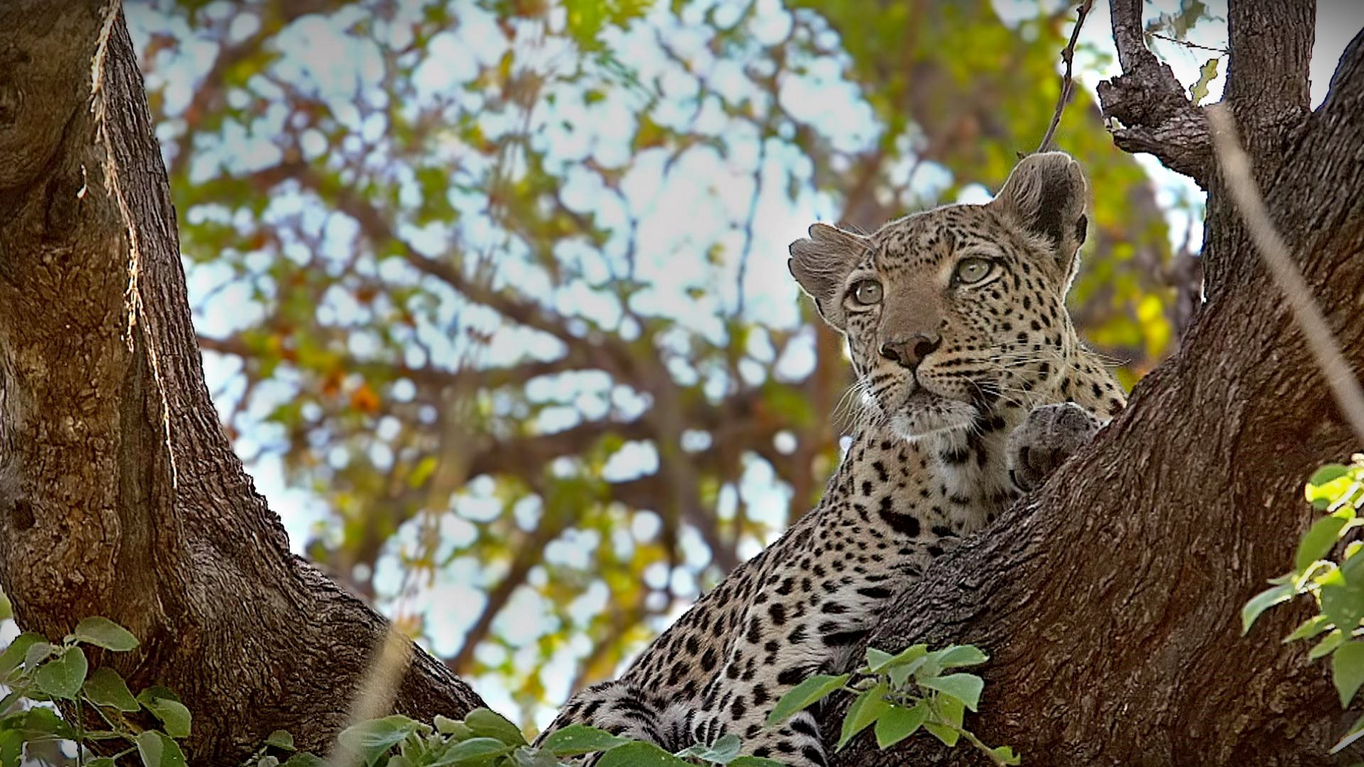 Leopard Moremi Reserve